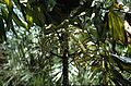 Bogor Caryota.jpg