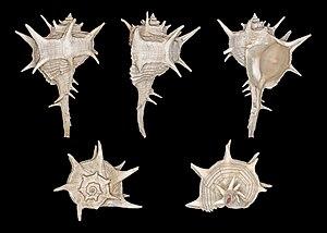 Bolinus brandaris - Image: Bolinus brandaris 01