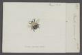 Bombus - Print - Iconographia Zoologica - Special Collections University of Amsterdam - UBAINV0274 045 10 0007.tif