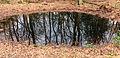 Bomen spiegelen zich in waterpoel. Locatie, natuurgebied Delleboersterheide – Catspoele 02.jpg
