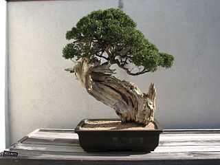 history of the art of bonsai