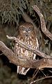 Boobook Owl (Ninox boobook) (22327713360).jpg