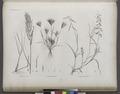 Botanique. 1. Festusa fusca; 2. Bromus rubens; 3. Dinæba ægyptiaca (NYPL b14212718-1268643).tiff