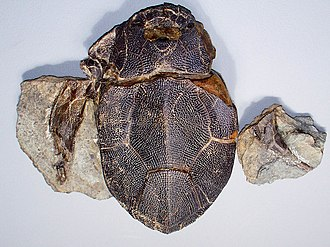 Miguasha National Park - Bothriolepis, a fossil antiarch placoderm found at this site.