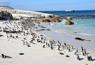 Simon's Town - African penguins (Spheniscus demersus) on Boulders Beach