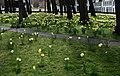 Brügge Begijnhof Daffodils 1260329-PSD.jpg