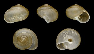 Asian trampsnail species of mollusc