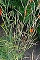 Brassica rapa subsp. campestris pods (03).jpg