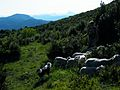Brebis Pic Baudile vue Pic St Loup.jpeg