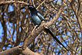 Bristle-crowned starling (Onychognathus salvadorii).jpg