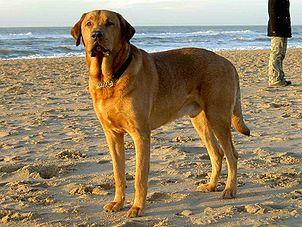 Broholmer Dog Breed