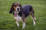 Bronco the Beagle.JPG