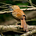 Brown Thrasher-27527-1.jpg