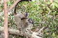 Brown lemurs.jpg