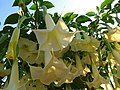 Brugmansia hybrid flowers.jpg