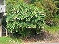 Brugmansia tree.jpg