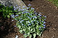 Brunnera macrophylla 'Jack Frost' 0804.JPG