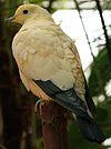Buberel Ducula bicolor 2