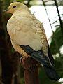Buberel Ducula bicolor 2.jpg