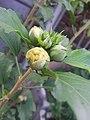 Bud of Philadelphus (mock-orange)-Flower 04.jpg