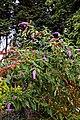 Buddleja at Easton Lodge Gardens, Little Easton, Essex, England.jpg