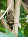 Buff-necked Woodpecker (13893533010).jpg