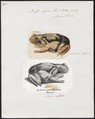 Bufo agua - 1700-1880 - Print - Iconographia Zoologica - Special Collections University of Amsterdam - UBA01 IZ11500171.tif