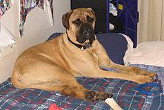 Gifts for Bullmastiff Dog Lovers