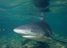 Photo of bull shark in shallow water