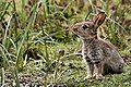 Bunny (34448323596).jpg