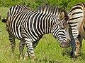 Burchell's Zebra (Equus quagga burchellii) (14052127544).jpg