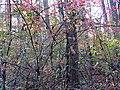 Burning Bush (31040143476).jpg