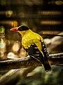 Burung Kepodang.jpg