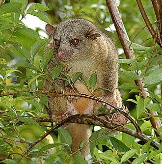 Northern olingo - Northern olingo in Costa Rica