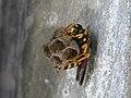 Busy Wasp.jpg