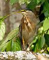 Butorides striata (Garcita rayada) (16369914326).jpg