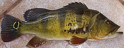 meaning of cichlid