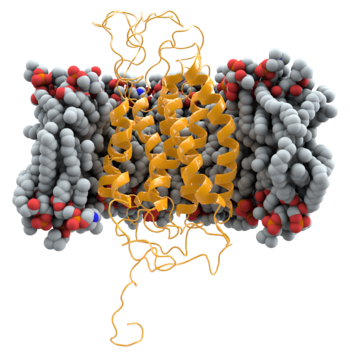 Ribbon model of CCR5 (yellow), shown within the cell membrane (grey and red)