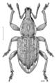 COLE Curculionidae Irenimus stolidus.png