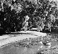 COLLECTIE TROPENMUSEUM Flamingo's lopen in een vijver onder Eucalyptusbomen in 's Lands Plantentuin te Buitenzorg West-Java TMnr 10010803.jpg