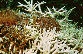 COTS feeding on Acropora.JPG