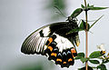 CSIRO ScienceImage 2690 Large Cirtus ButterflyOrchard butterfly.jpg