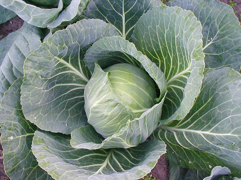 Cabbage Estonia