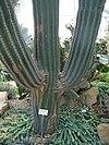 Cactusgigante2ks
