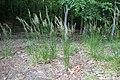 Calamagrostis arundinacea kz08.jpg