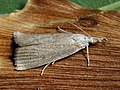 Calamotropha paludella (25956411387).jpg
