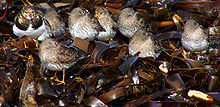 Calidris maritima group.jpg