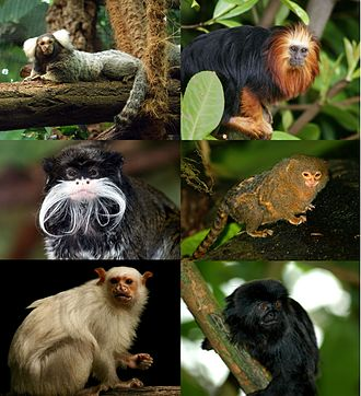 Callitrichidae - Major extant callitrichid genera: Callithrix, Leontopithecus, Saguinus, Cebuella, Mico, Callimico.
