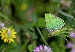 Callophrys rubi Малинова пеперудка.jpg