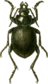 Calosoma panderi Jacobson.png